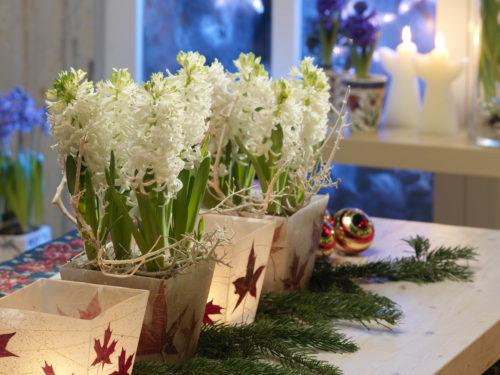weihnachtliche Deko mit Koniferenzweigen und Hyazinthen in Gefäßen auf einem Tisch