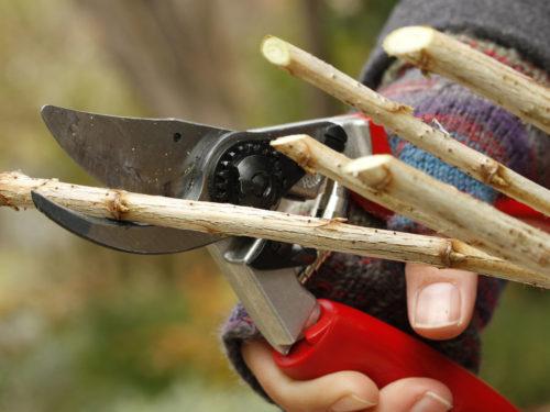 Steckholz schneiden mit Rosenschere
