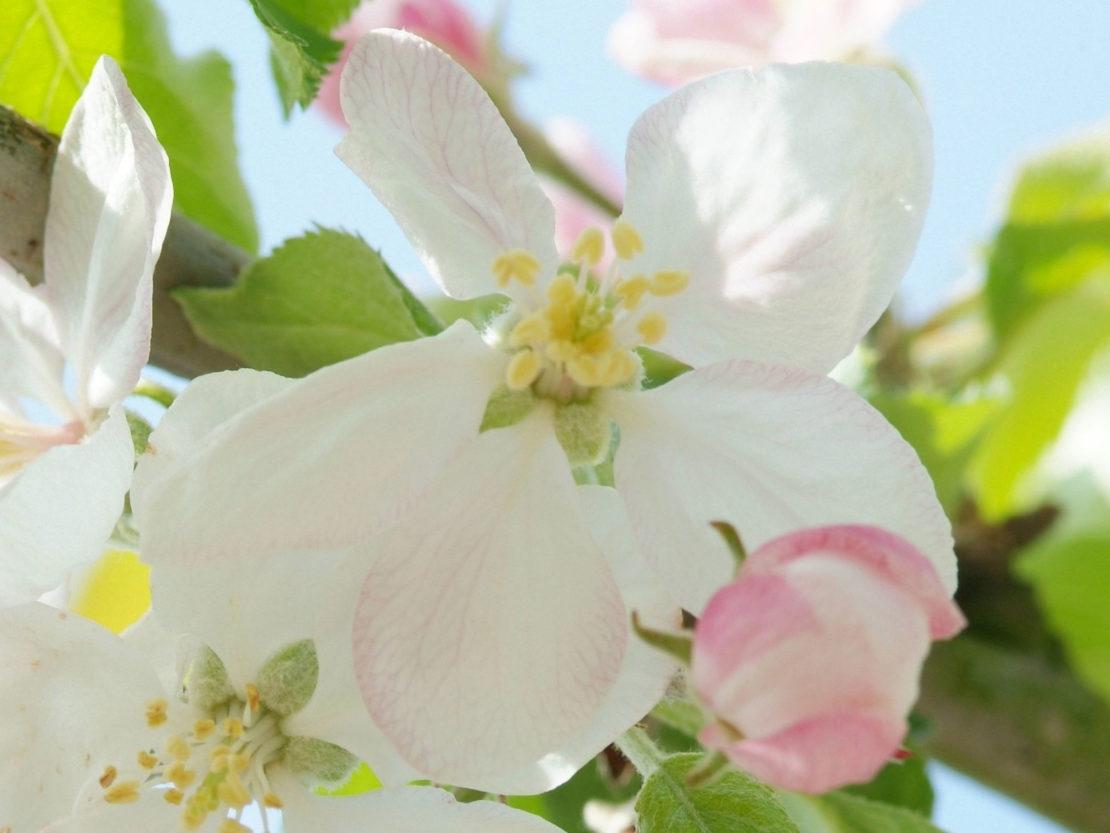 Apfelblüte signalisiert den Vollfrühling im phänologischen Kalender