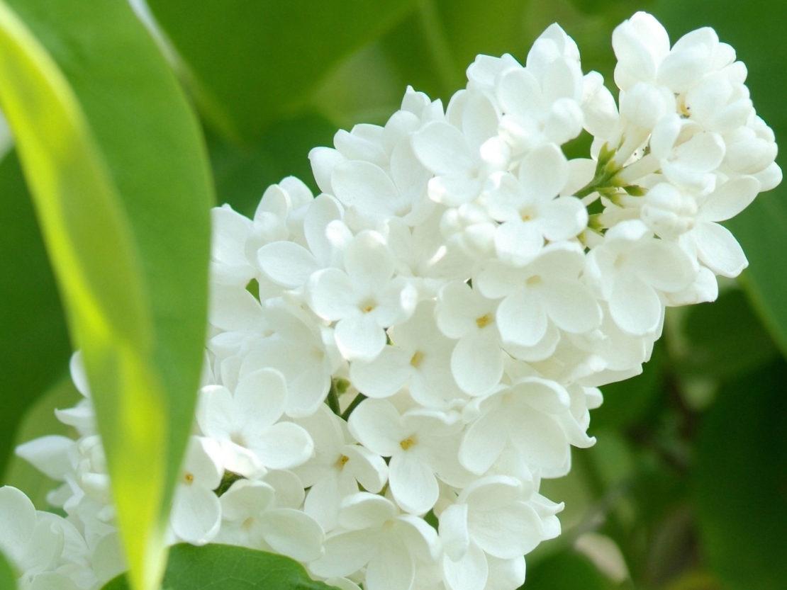 Flieder mit weißen Blüten