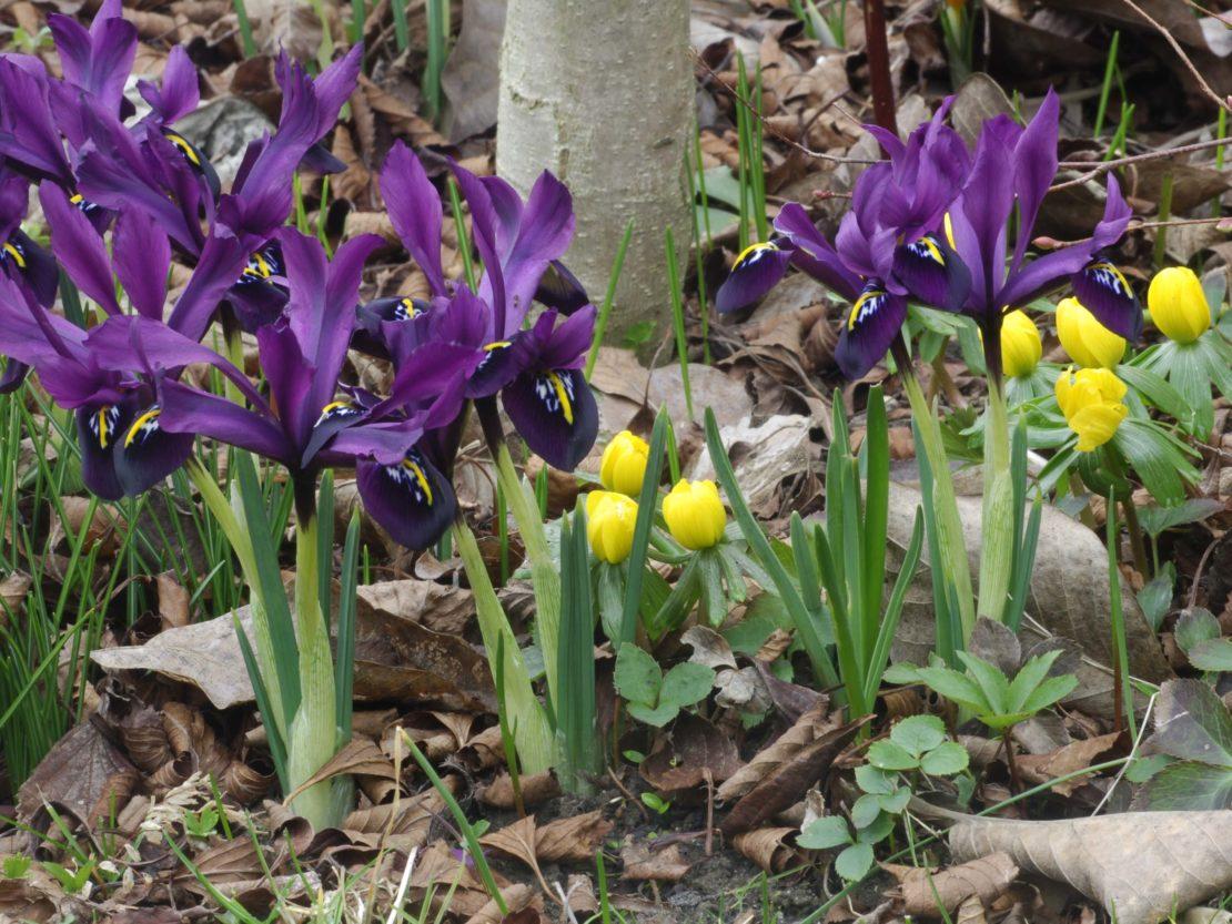 Blühende Iris histroides George und blühende Winterlinge