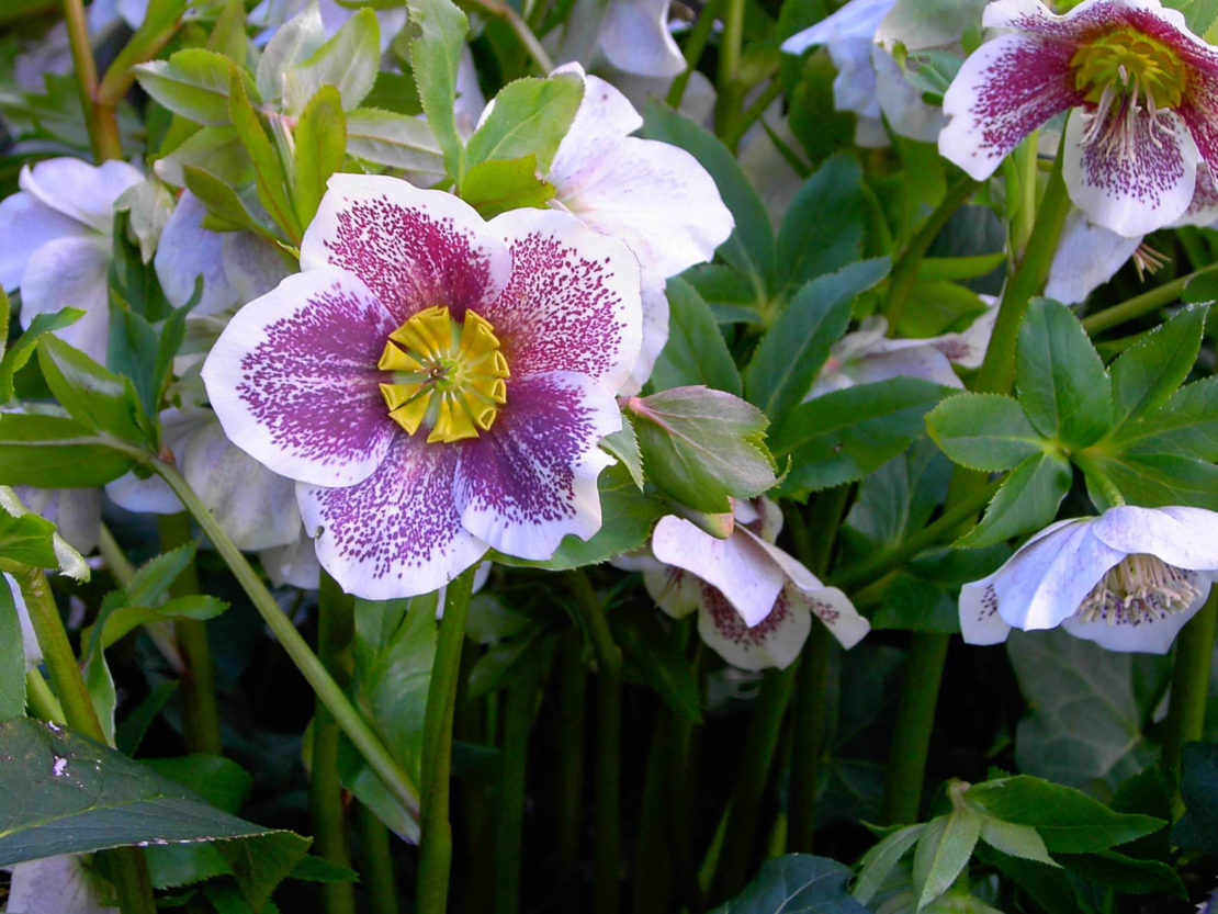 Lenzrosen mit violett-weißen Blüten