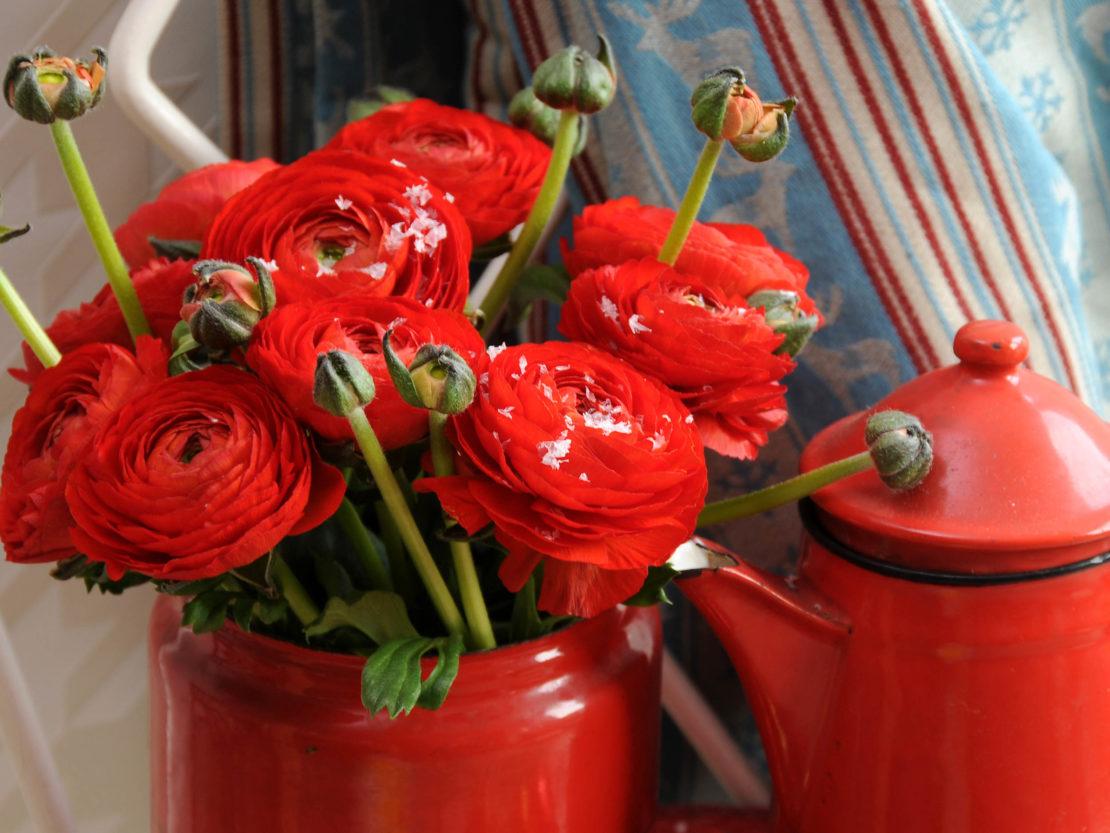 Ranunkeln mit roten Blüten in einem roten Gefäß