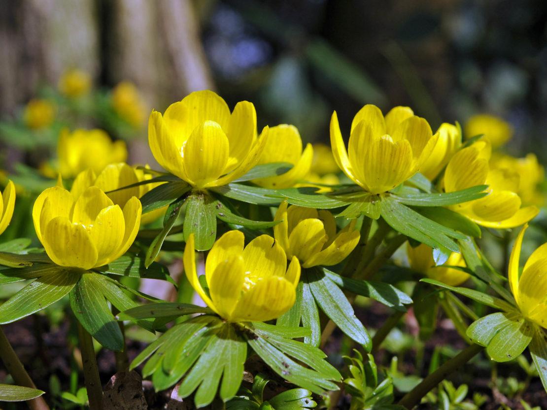 Winterlinge mit leuchtend gelben Blüten