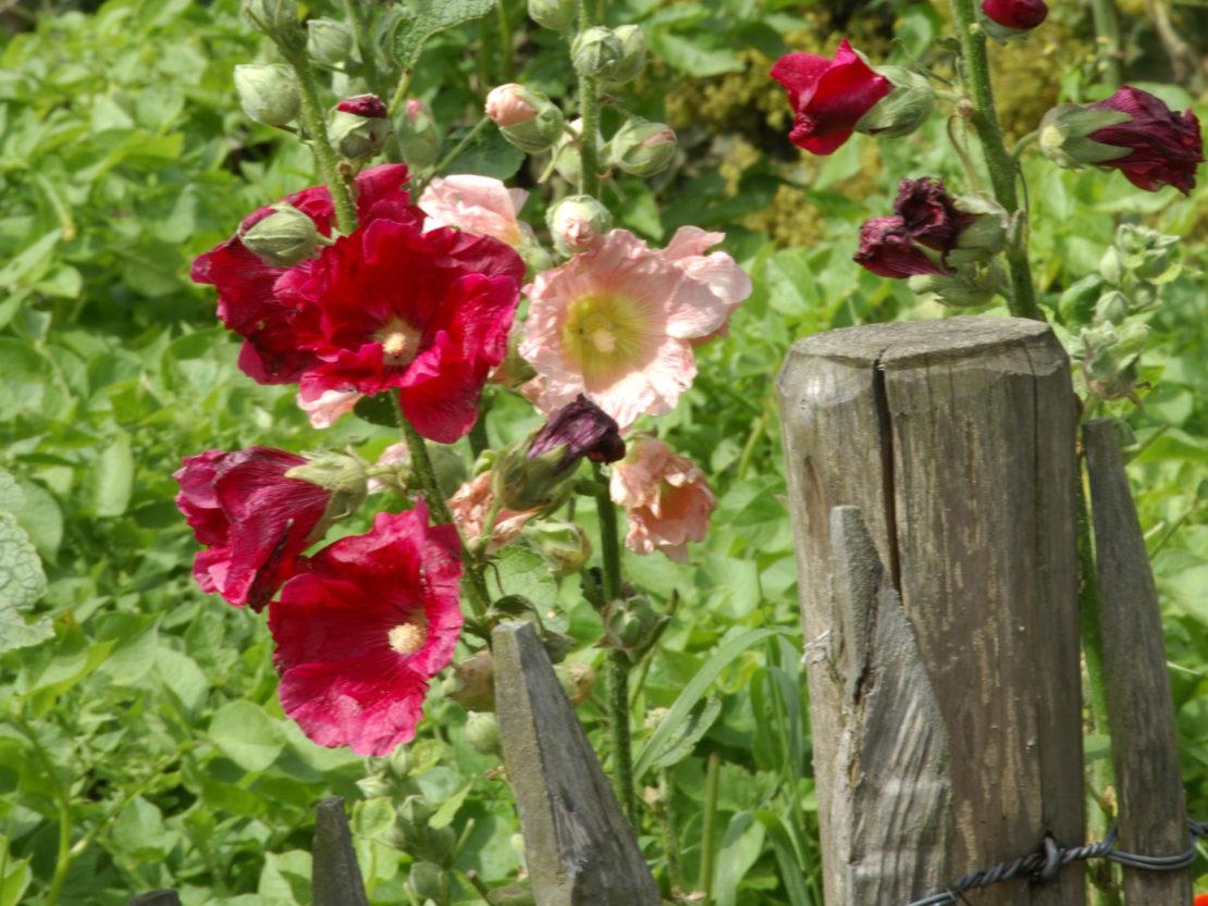 blühende Stockrosen am Zaun