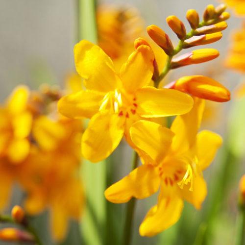 Montbretie mit leuchtend gelben Blüten