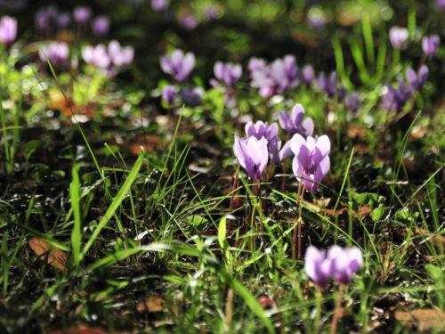blühende Freiland-Alpenveilchen im Garten