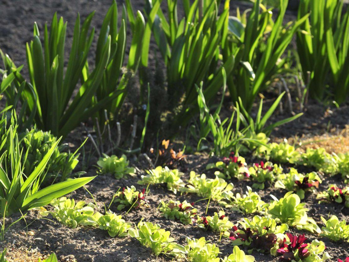 Beete mit Gemüse in mildem Frühlingslicht