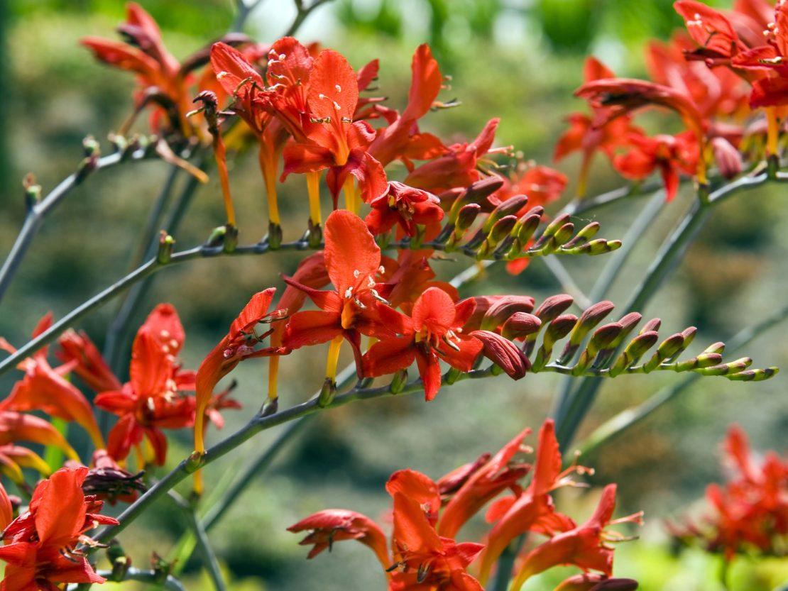 Blütenstand einer orangerot blühenden Montbretie