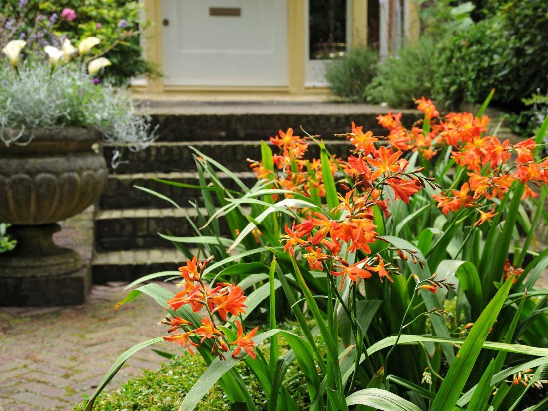 Vorgarten mit blühenden Montbretien