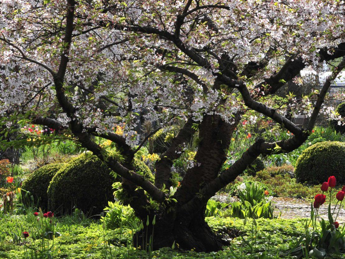 mächtige alte Zierkirsche im Frühlingsgarten