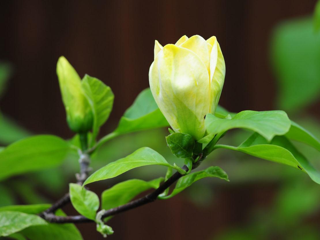 gelbblühende Magnolie Yellow Bird