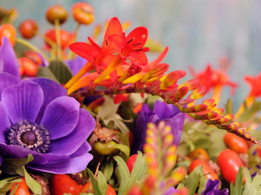 markanter Blütenstand einer orange-rot blühenden Montbretie