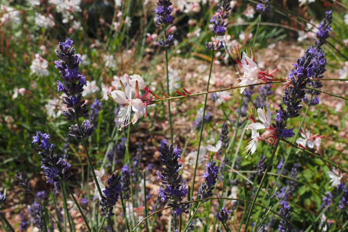 Prachtkerze Lavendel