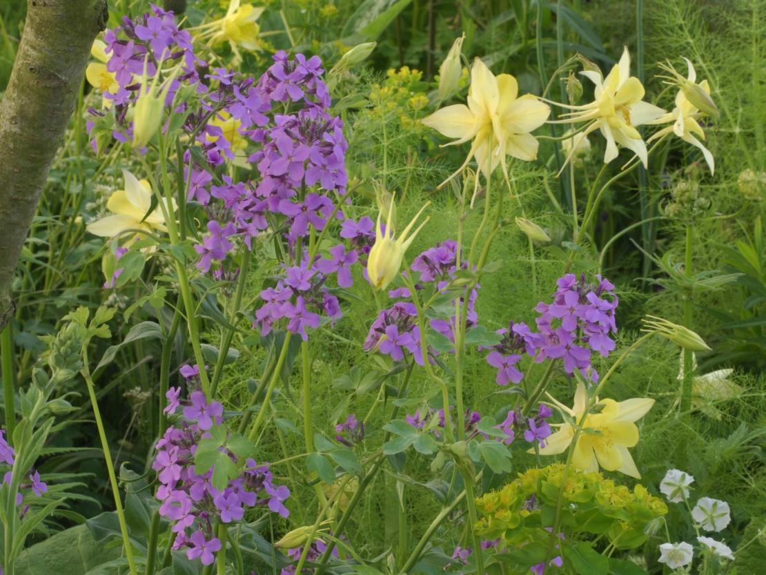 die gelbblühende Aquilegia chrysantha 'Yellow Queen' und violettblühende Nachtviole