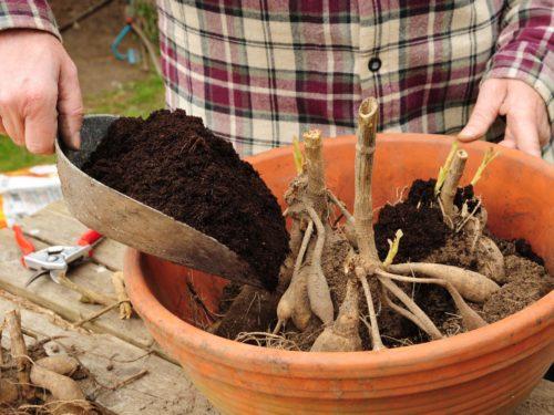 Dahlie in Topf pflanzen