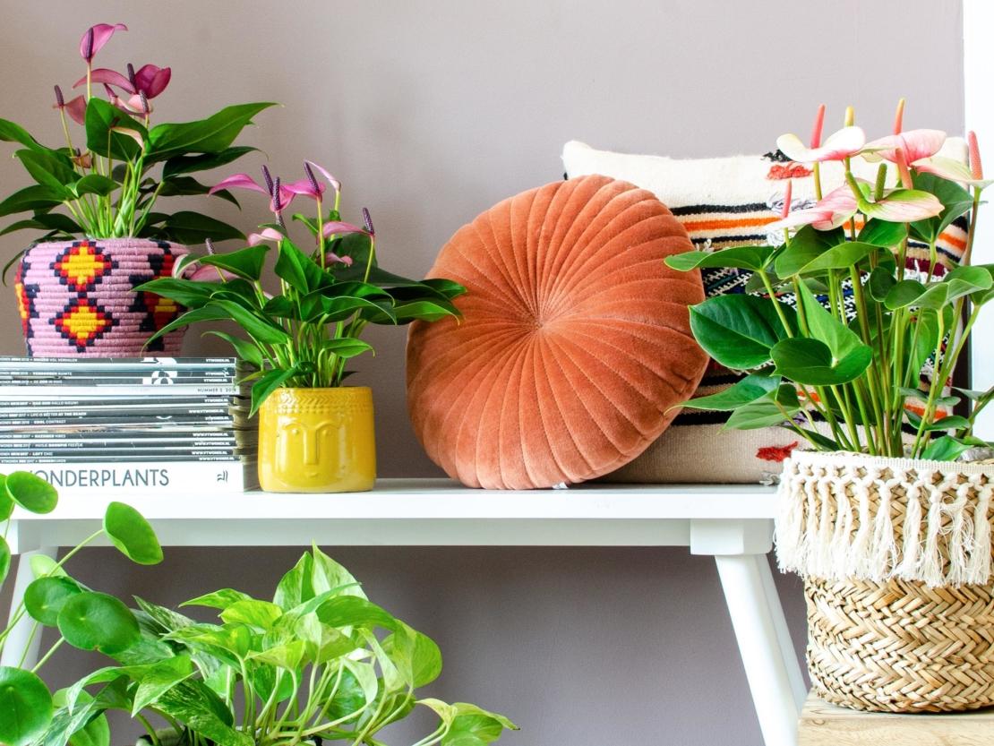 Flamingoblumen mit Blüten in verschiedenen Farben