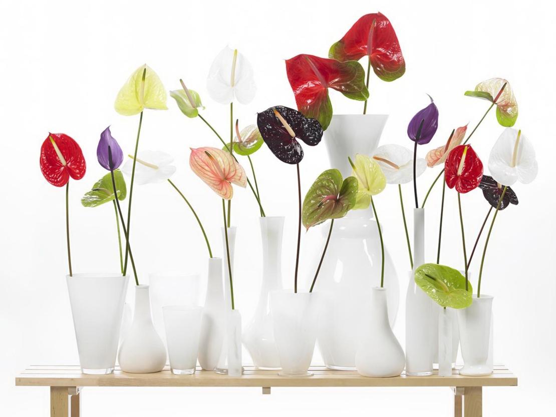 Flamingoblumen in vielen verschiedenen Farben einzeln in weißen Vasen arrangiert