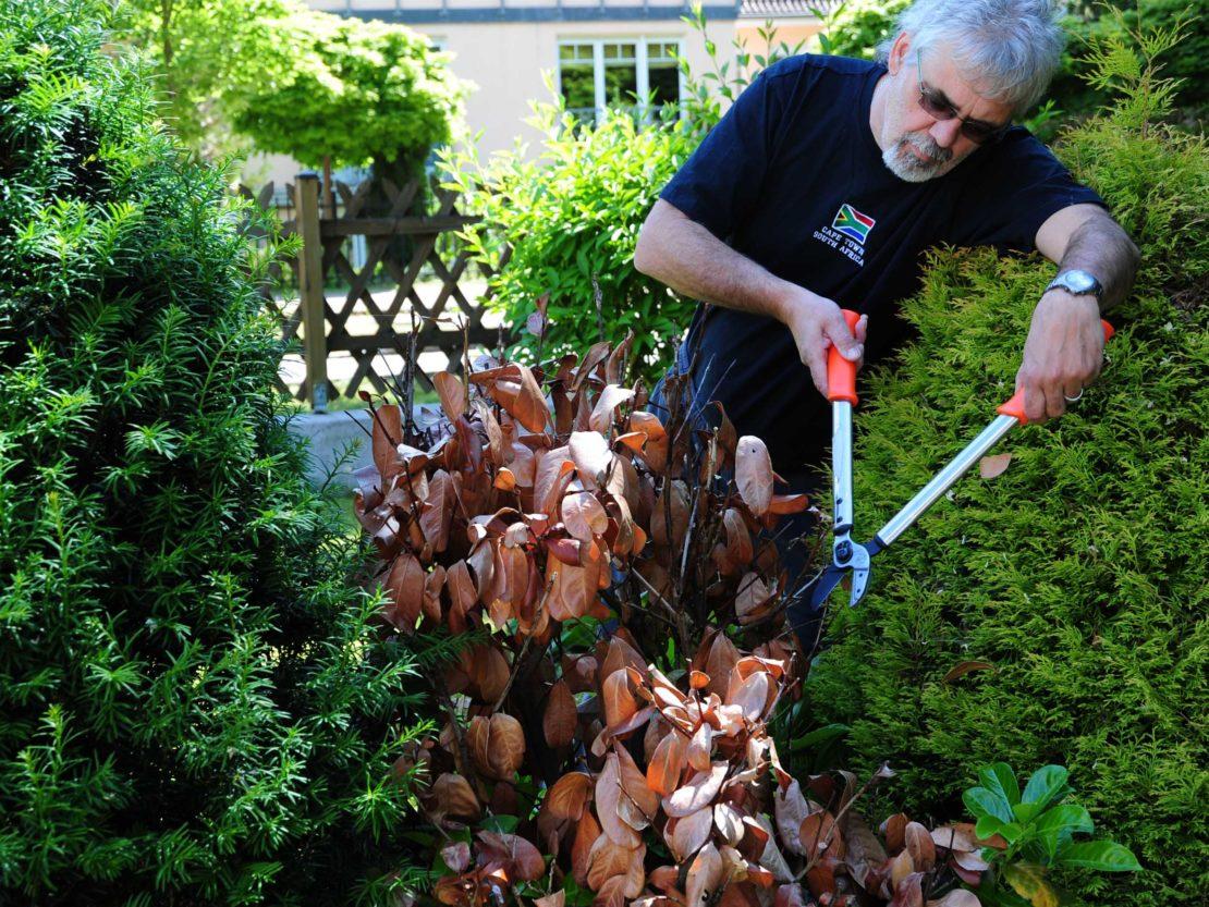Mann schneidet trockenen Kirschlorbeer zurück