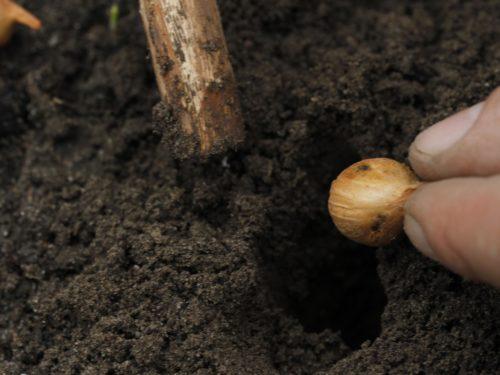 Steckzwiebel wird ins Beet gelegt