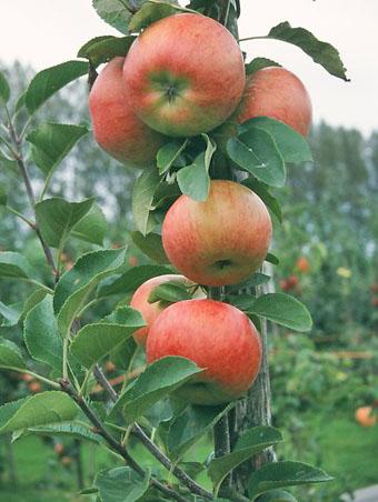 Apfelsorte Topaz