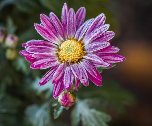 Chrysanthemum-Zawadskii-Hybride