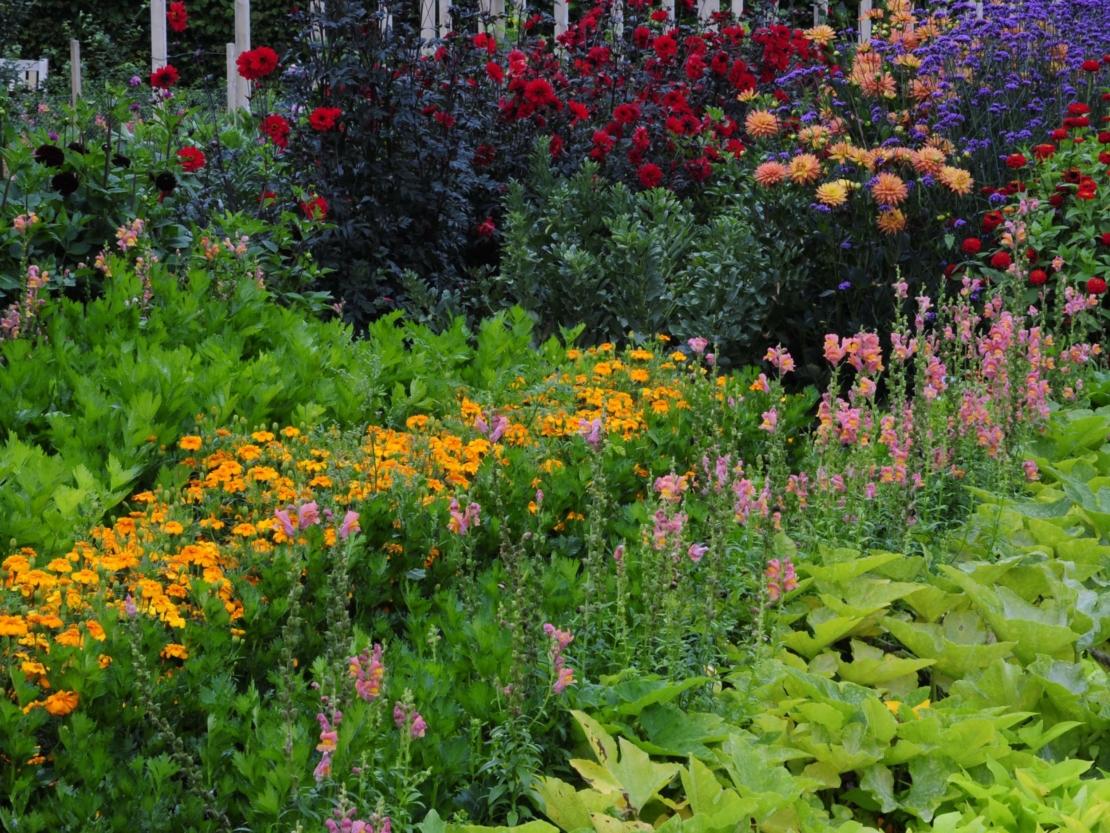 Beet mit blühenden Löwenmäulchen in ländlichem Garten