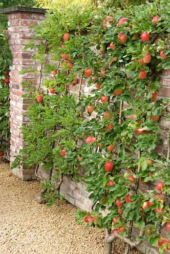 Spalierobst Apfelbaum