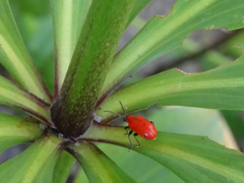 Lilienhähnchen auf Blättern mit Fraßschäden an den Rändern