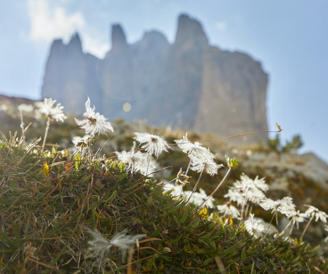 Silberwurz Dryas octopetala Foto: AdobeStock_Harald