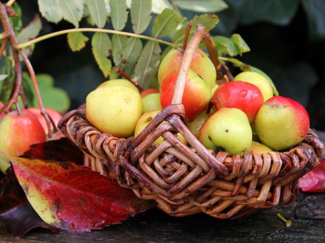 ein kleiner Korb gefüllt mit apfelähnlichen Speierling-Früchten