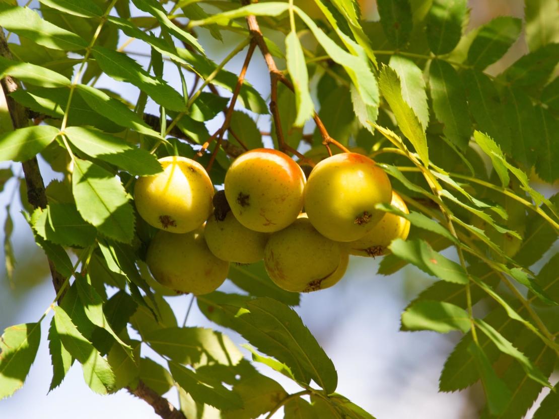 Speierling mit einigen an der Sonnenseite etwas rötlich gefärbten Früchten