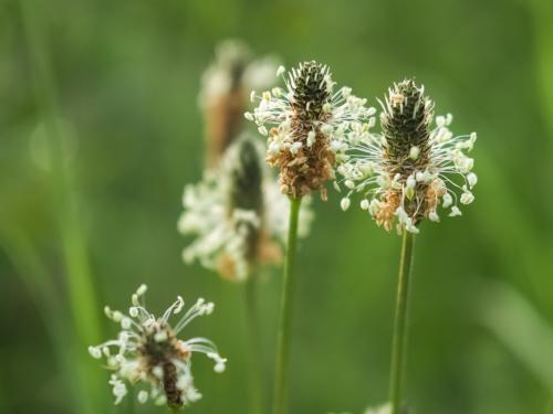 kreisförmig um den Blütenstand des Spitzwegerich angeordnete Blüten