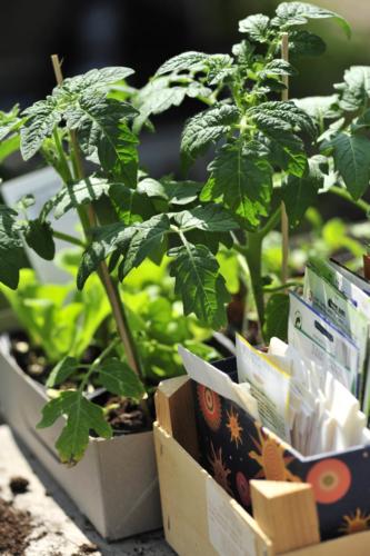 Tomaten Jungpflanzen in kleinen Töpfen