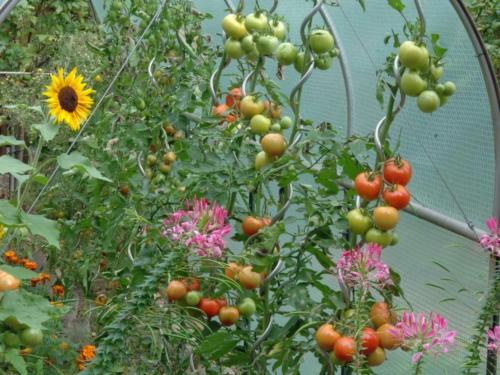 Stabtomaten mit Früchten im Folientunnel