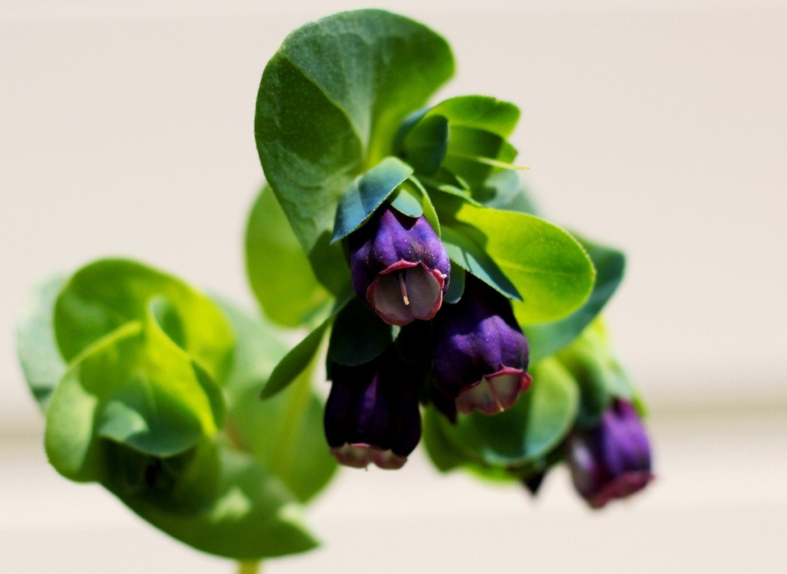 Violette Wachsblume