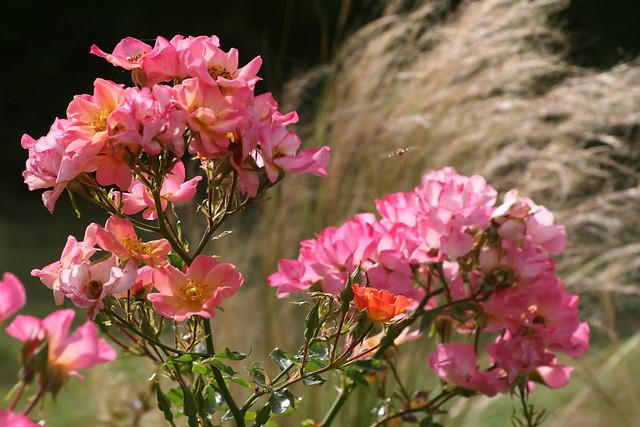Rosen und Ziergräser