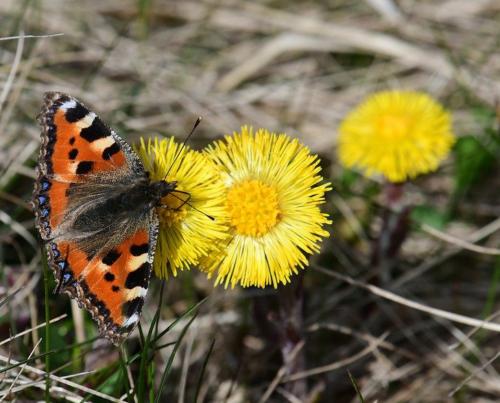 Huflattich Schmetterling