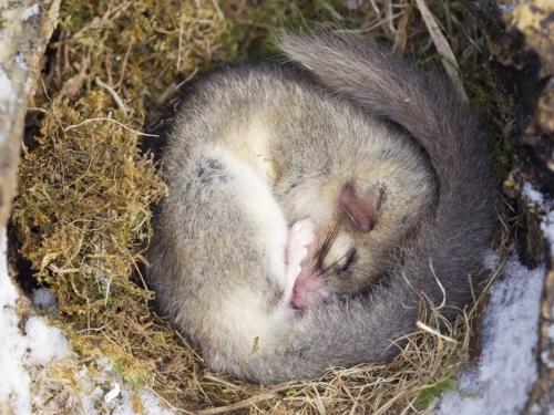 Zusammengerollter Siebenschläfer während des Winterschlafes in gepolstertem Nest
