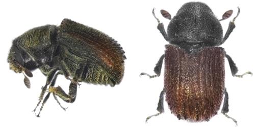 zwei Borkenkäfer der Art Phloeosinus aubei in Nahaufnahme