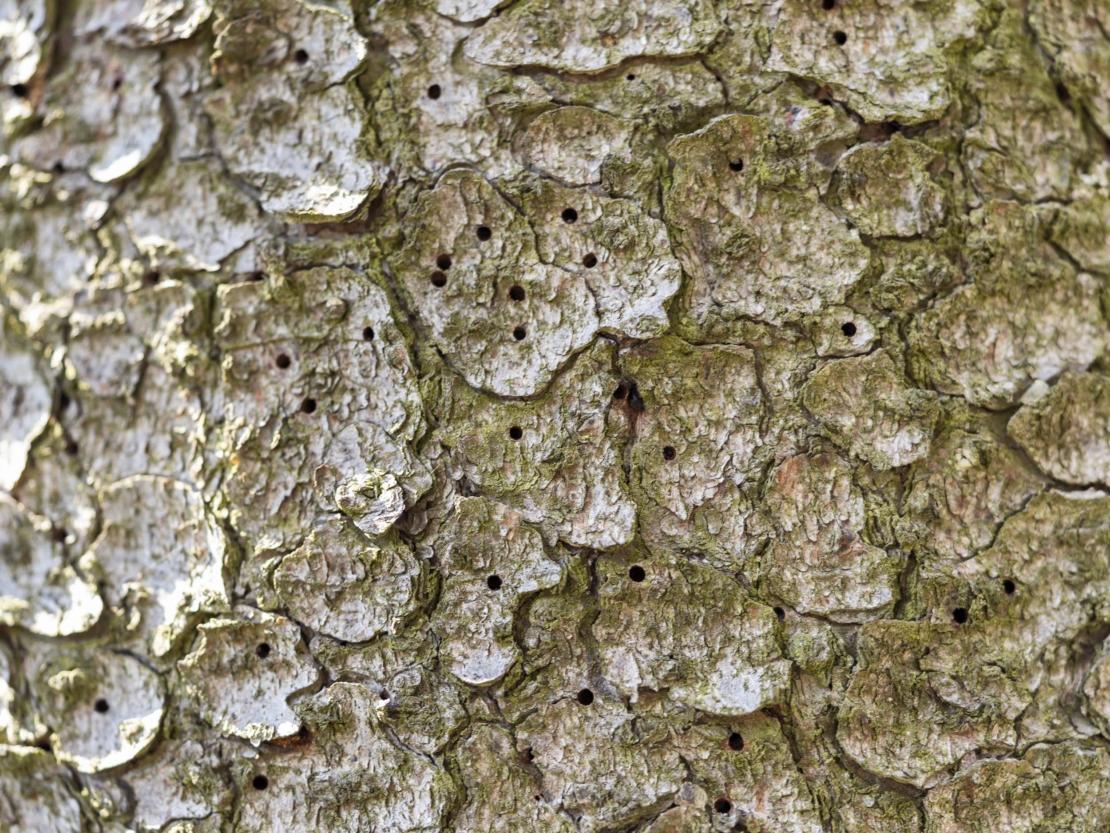 Baumstamm mit von Borkenkäfern verursachten Bohrlöchern