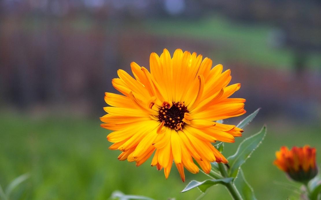 Calendula offene Blüte