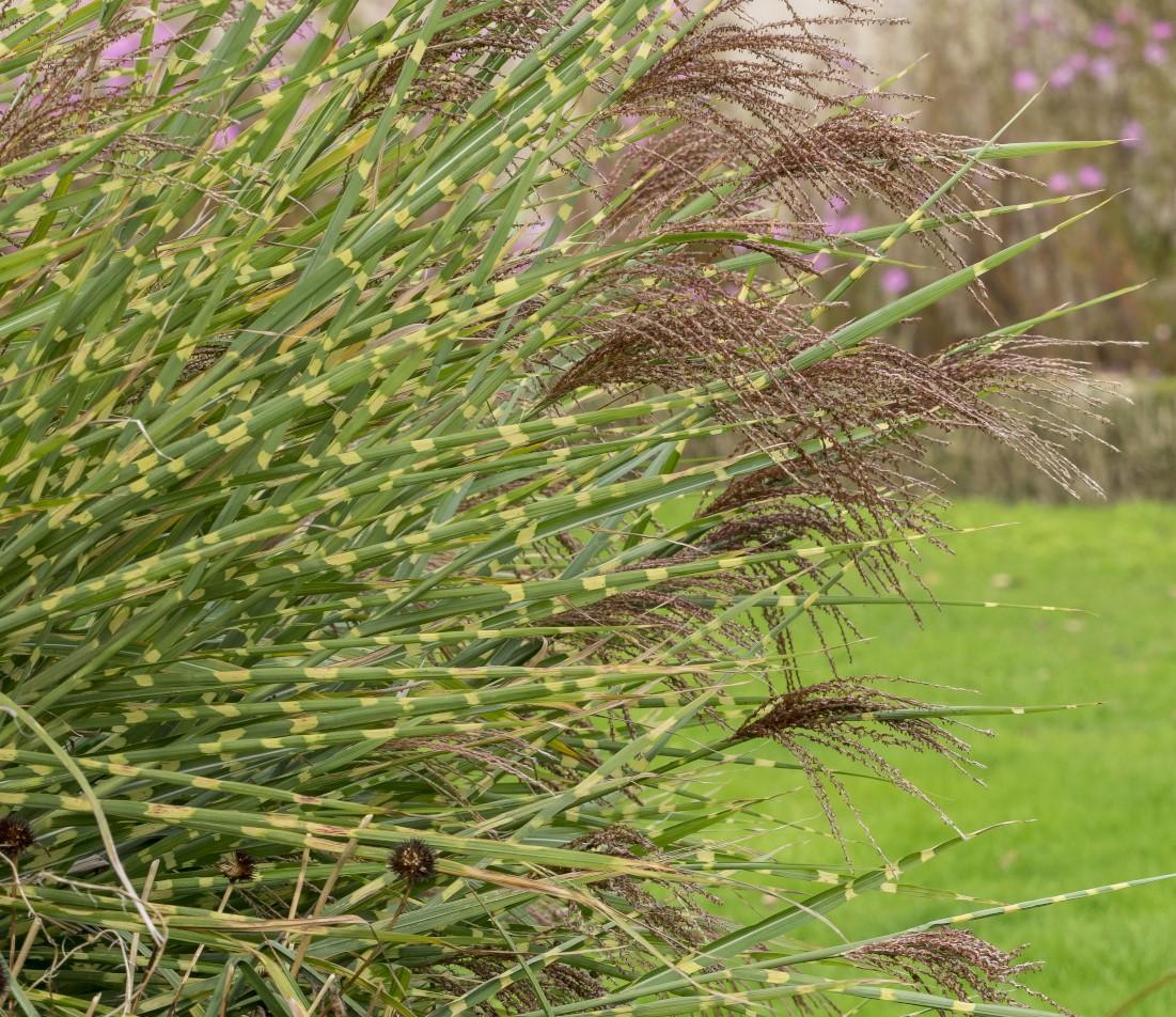 Zebragras Foto: Zebragras-AdobeStock_ Marc