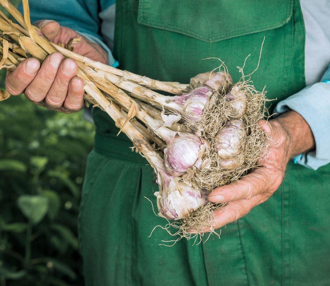 Knoblauch pflanzen Foto: AdobeStock_fusssergei