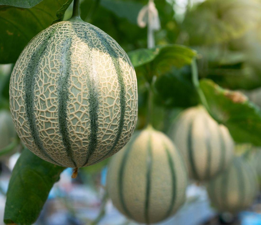 Melonen anbauen Foto: AdobeStock_chomplearn_2001