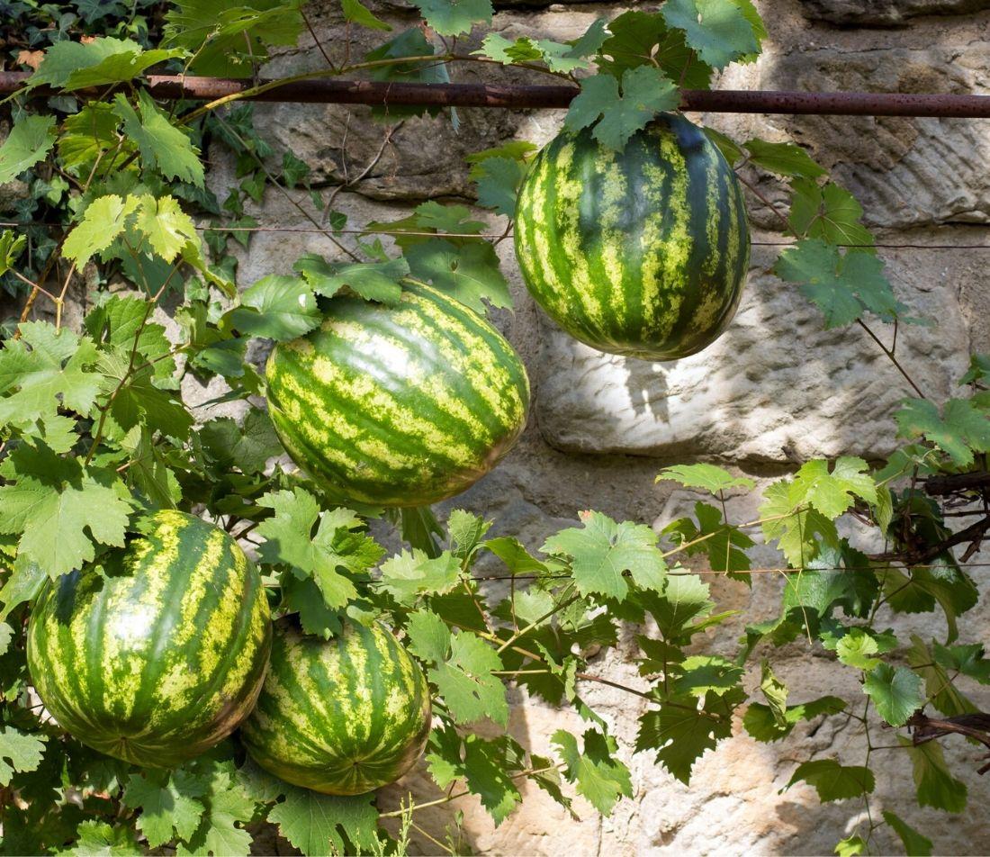 Melonen anbauen Foto: AdobeStock_milkovasa
