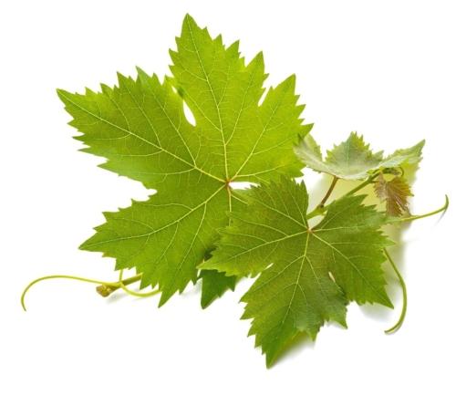 Weinblätter-Rezept Foto: AdobeStock_Scisetti_Alfio