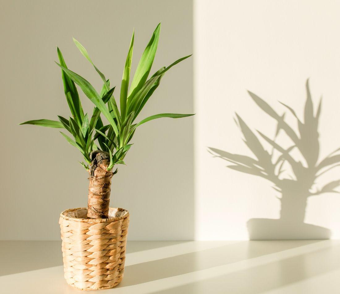 Yuccapalme Foto: AdobeStock_K.Decor