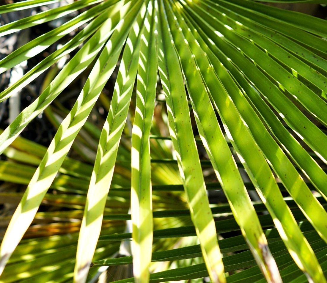 Zwergpalme Foto: AdobeStock_13threephotography