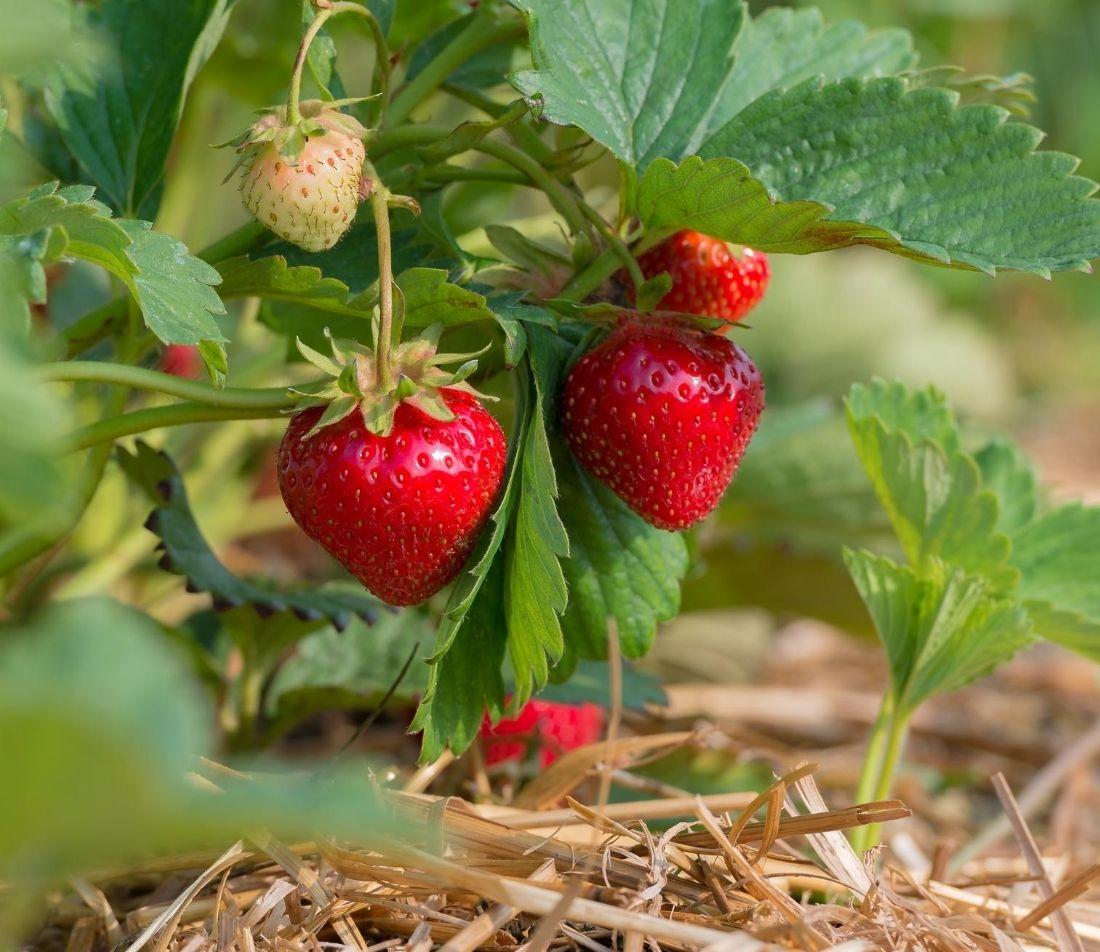 Erdbeeren-pflanzen Foto: AdobeStock_mirkograul